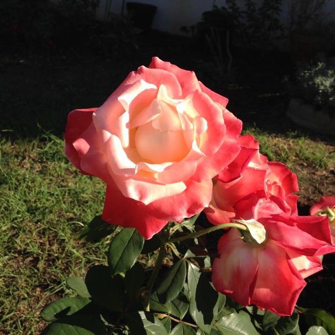Aunt Ann's Rose